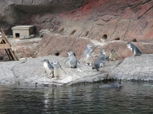 Little Blue Penguins relaxing at Antarctica Centre in Christchurch, NZ