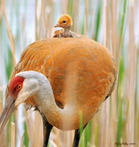 Greater Sandhill Crane and chick; Cranes use the Delta for foraging over winter and breed in the Klamath Basin.