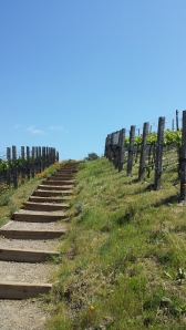 Poppies along a vineyard walk in Napa.